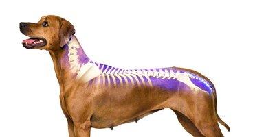 dog-spine-cropped-e1501601759158.jpg