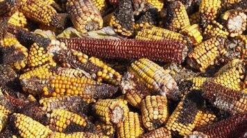 Corn-with-Mold-and-Mold-Toxins.jpg