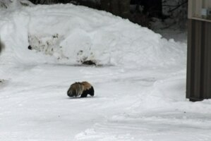 Skunk by snow bank and Morton Jan 10 21.JPG