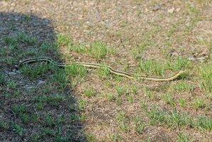 Snake by apron July 27 21.JPG