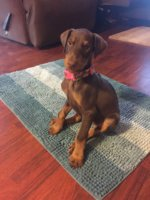 Is this knuckling?? | Doberman Chat Forum