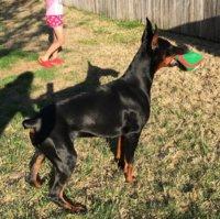 European Doberman Breeder in Texas | Doberman Chat Forum