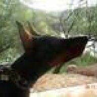 Teufelhund in AZ