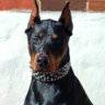 HakuTheDoberman