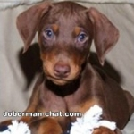 How to Care for a Doberman Puppy
