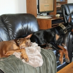 Signs of Doberman Obsession!